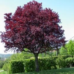 Džanarika Sljiva Seme (Prunus cerasifera) Seeds Gallery - 4