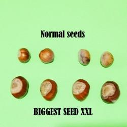 Adi fındık tohumlar (Corylus avellana)  - 3