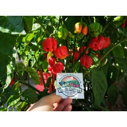 Trinidad moruga scorpion powder Worlds Hottest Seeds Gallery - 2