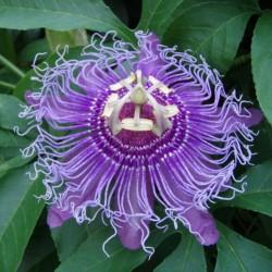 Maypop, Lila Passionsblume Samen (Passiflora incarnata)  - 4