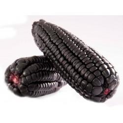 """Sementes de Milho Roxo Peruano Maiz Morado """"Kculli"""" Seeds Gallery - 5"""