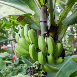 Semillas de plátano malayo (Musa acuminata Colla)  - 1