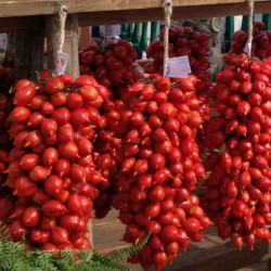 Graines de tomate PRINCE ou PRINCIPE BORGHESE  - 2