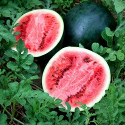 Sugar Baby Watermelon Seeds  - 1