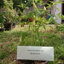 Semillas de chile Blanco LANZA  - 2