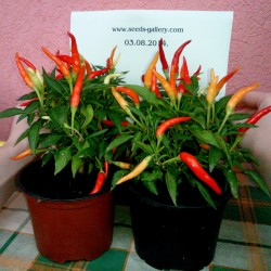Riot Chili Seeds Organically Grown  - 4