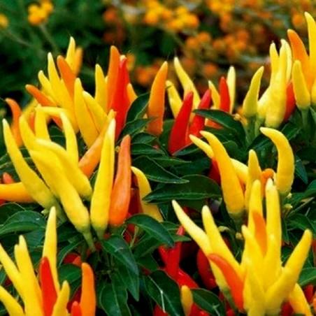 Riot Chili BIO Seme - Prelep