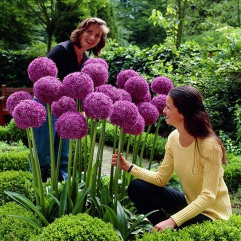 Jättelök Frön (Allium giganteum)  - 4