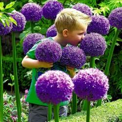 Giant Onion Seeds - Globemaster (Allium Giganteum)  - 1