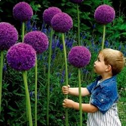 Allium Giganteum Seme - Globemaster  - 2
