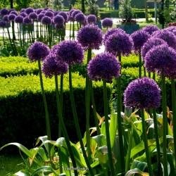 Jättelök Frön (Allium giganteum)  - 3
