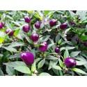 Semillas de Chile Jalapeño Purple & Brown