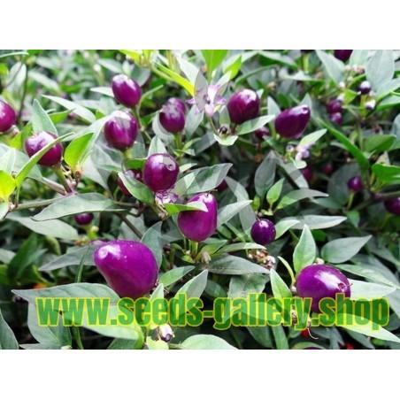 Guava Seme (Psidium gujava) zdravo za secerne bolesnike