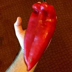 Moravska Kapija Big Sweet Pepper Seeds (Morava Gate)  - 3