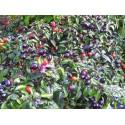 Chili Jalapeno Purple & Brown Seeds
