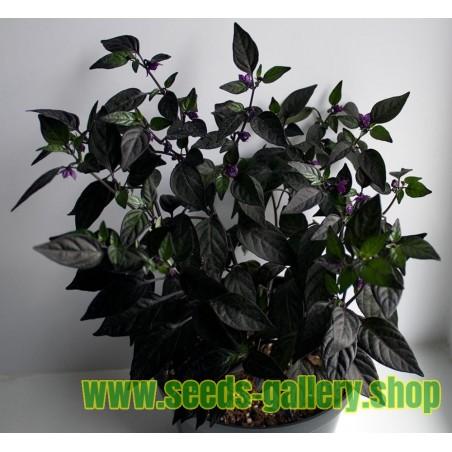 Sementes de Pimenta Jalapeño Purple & Brown