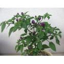 Graines de Pomme-téton (Solanum mammosum)