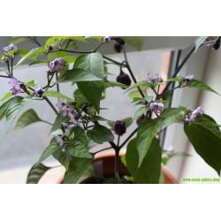 Chili Seme 'Filius Blue'