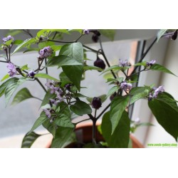 Chili 'Filius Blue' Seeds