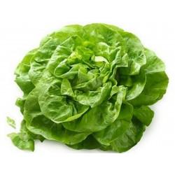 Zelena salata seme Novosadska majska  - 2