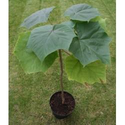 1000 семян Павло́вния Продолговатая (Paulównia Elongata)  - 2