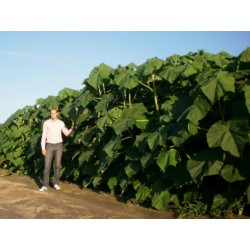 1000 Graines Paulownia Elongata  - 3