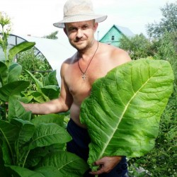 Russian Smoking tobacco seeds Trapezond  - 2