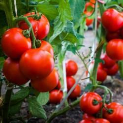 Tomatfrön Gruzanski Golden  - 2
