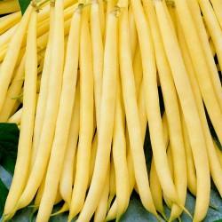 Fortal sarı fasulye tohumları  - 3