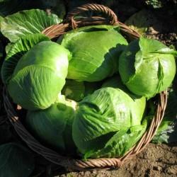 Σπόροι του λάχανου Varazdin  - 3