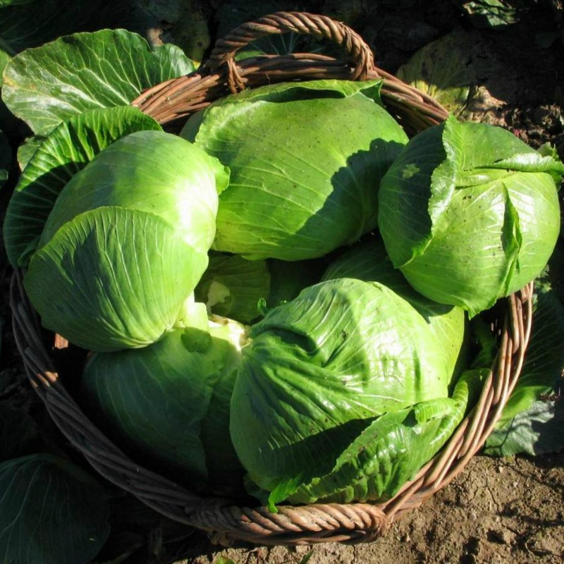 Varazdin cabbage seeds  - 3