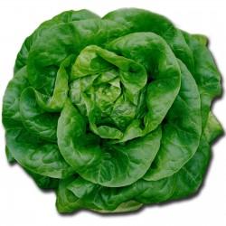 Seme salate Nansen Severni Pol  - 2