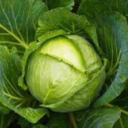 Σπόροι για λάχανο Απόγονος F1  - 2