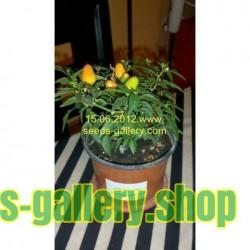 Chili Seeds 'Karneval' (Cercis siliquastrum)