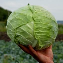 Cabbage Seeds Serbian Melez  - 3