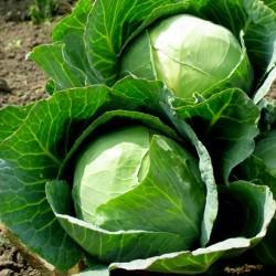 Ditmar σπόροι λάχανο  - 2
