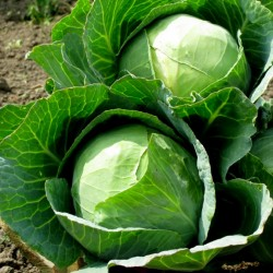 Ditmar cabbage seeds  - 2