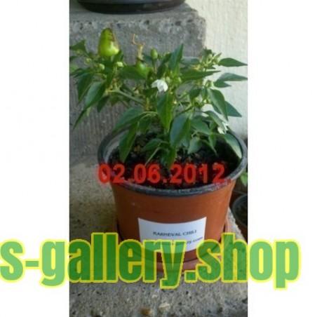 Karneval Chili Seme - Tajno Ostrvo (Cercis siliquastrum)