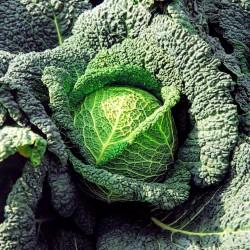 Σπόρος λάχανο Μιλάνου Vertus  - 2