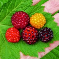 Pracht-Himbeere Samen (Rubus spectabilis)  - 4