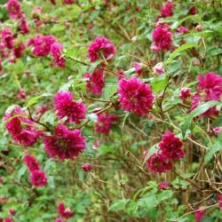 Pracht-Himbeere Samen (Rubus spectabilis)  - 2