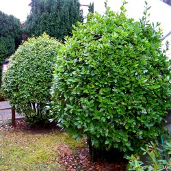 Semillas de Laurel o Lauro (Laurus nobilis)  - 3