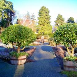 Lager eller lagerträd Frön (Laurus nobilis)  - 4