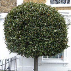 100 Sementes Loureiro ou Louro (Laurus nobilis)  - 3