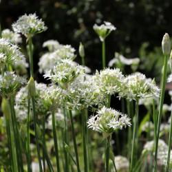 Cebollino Ajo Chino 10cm en Maceta Allium Tuberosum