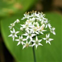 Semi di AGLIO CINESE (Allium tuberosum)  - 3