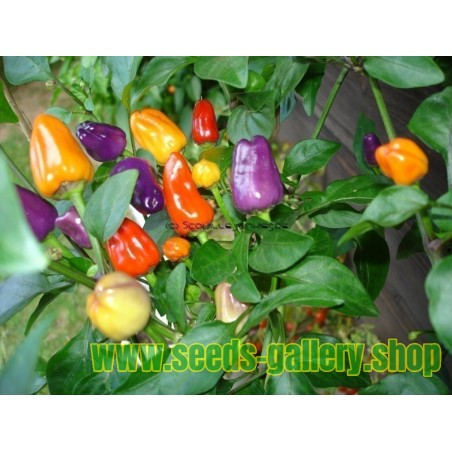 Bolivian Rainbow Chili Seeds