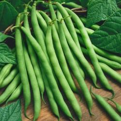 Bush beans seeds Recital  - 2