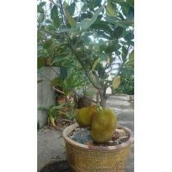 """Durian seme """"Kralj voca"""" (Durio zibethinus)  - 1"""