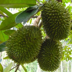 Durian seeds (Durio zibethinus)  - 2